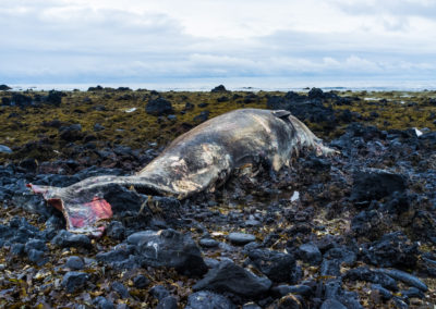 A sperm whale dead on the rocks, likely washed ashore in a storm.